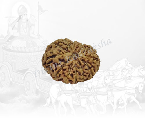 Twelve (12) Mukhi Rudraksha - Indonesian