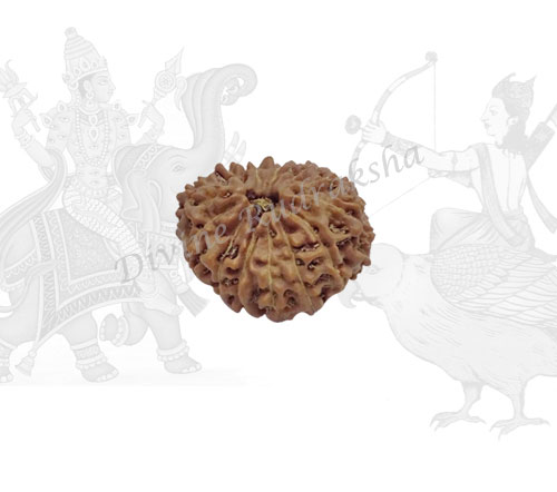 Thirteen (13) Mukhi Rudraksha - Indonesian