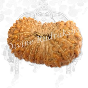 Twenty One (21) Mukhi Rudraksha - Indonesian