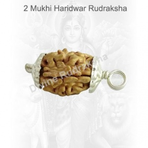 Two (2) Mukhi Rudraksha - Indian