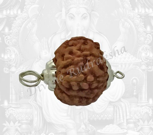 Eight (8) Mukhi Rudraksha - Indonesian